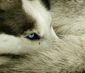 husky staart